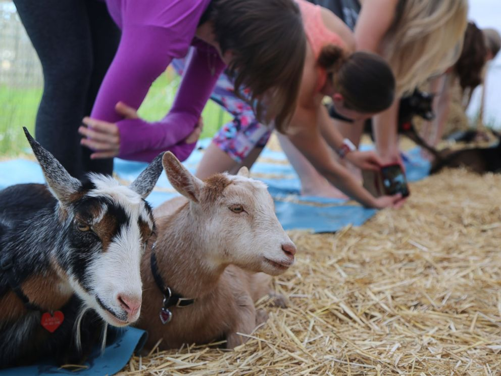 Goats sit down next to yogis taking a goat yoga class in Oregon.