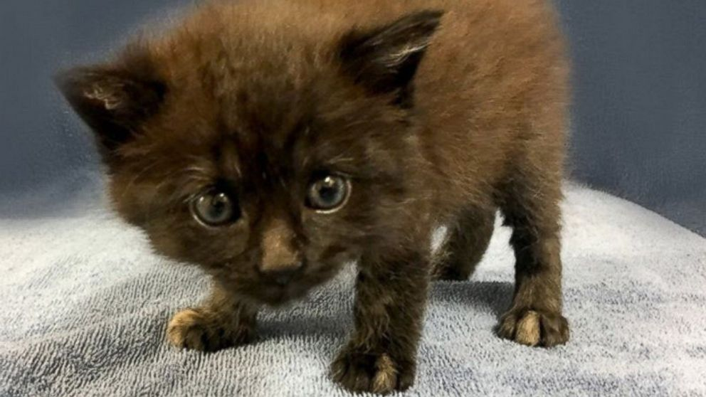 Rare male tortoiseshell cat attracts 100s wanting to adopt abc news - Images of tortoiseshell cats ...