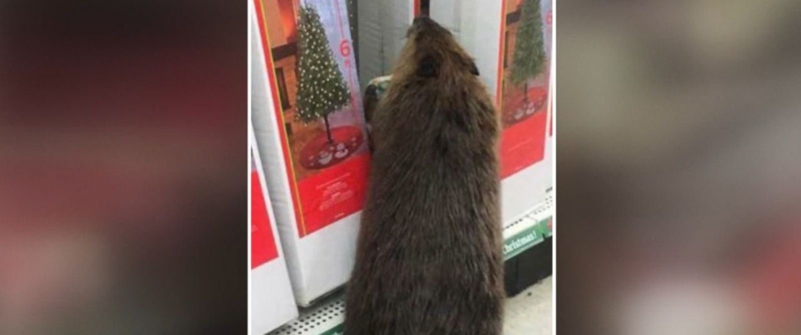 PHOTO: A beaver was photographed by authorities in the Christmas tree section of a store in St. Marys County, Maryland, on Nov. 30, 2016.
