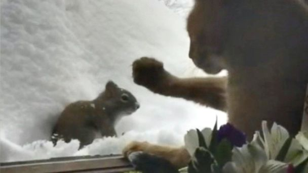 PHOTO: Milo the cat faces down a squirrel that has approached his window.