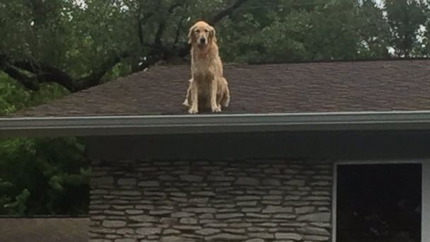 PHOTO: Dog named Huckleberry becomes star for hanging on owner's roof in Austin, Texas.