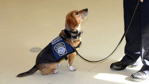 PHOTO: Murray is a beagle who suffered abuse before coming to a Georgia Shelter, and is now starting a career with the Hartsfield Jackson Atlanta Airport.