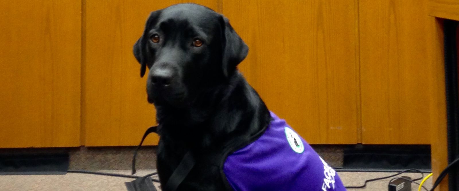 PHOTO: Merel, an 18-month-old service dog, helps soothe kids in London, Ontario testify in court.