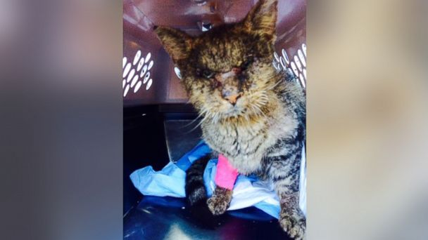 PHOTO: Valentino the cat was plagued with health issues when he was rescued from the shelter, but is now on the road to recovery.