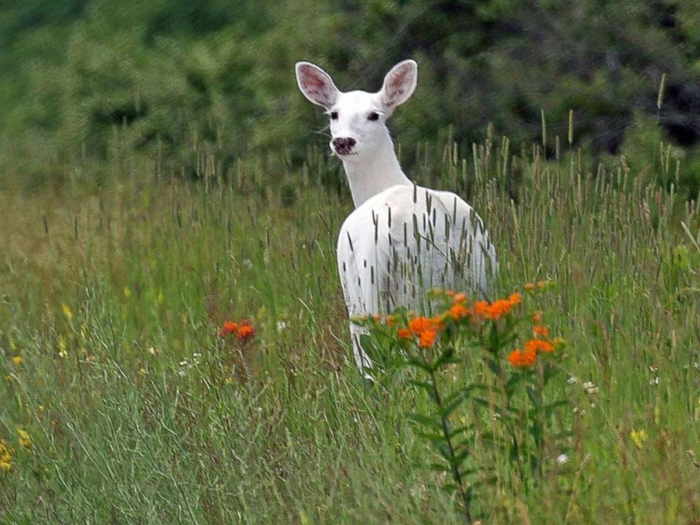 PHOTO: A white deer stands in the brush inside the former Seneca Army Depot.