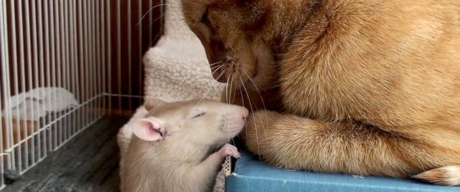 "PHOTO: Peanut the rat and Ranj the cat were ""like close siblings,"" according to their owner, Maggie Szpot from Cedarburg, Wisconsin."