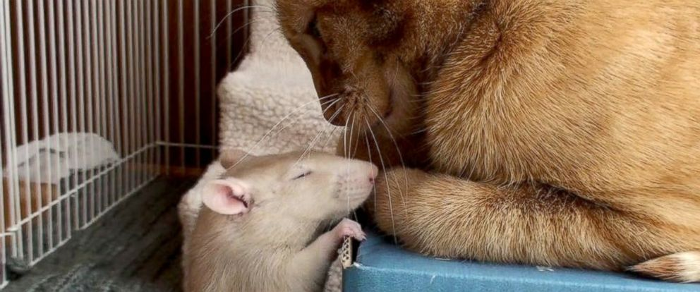 """PHOTO: Peanut the rat and Ranj the cat were """"like close siblings,"""" according to their owner, Maggie Szpot from Cedarburg, Wisconsin."""