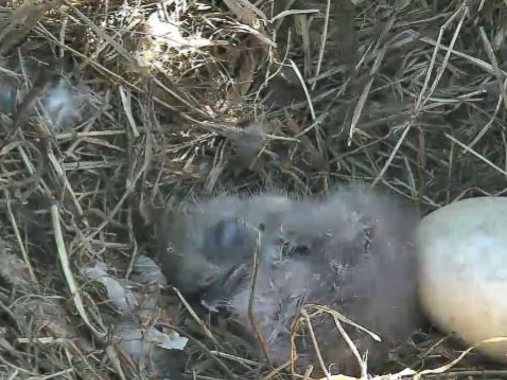 PHOTO: For most of the eaglets first day out of its egg, it remained curled up and sleeping in the nest.