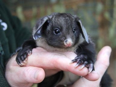 A Yellow-Bellied Glider Hangs Out at the Zoo