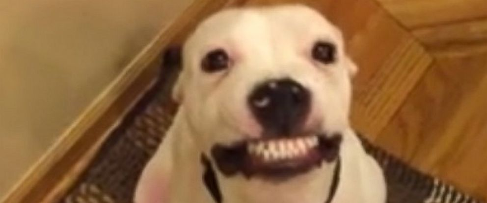 PHOTO: Herbert, a 5-month old American Staffordshire Terrier, appears to be smiling here in a video his foster parent Amanda Robles posted to Facebook on Jan. 9, 2016.