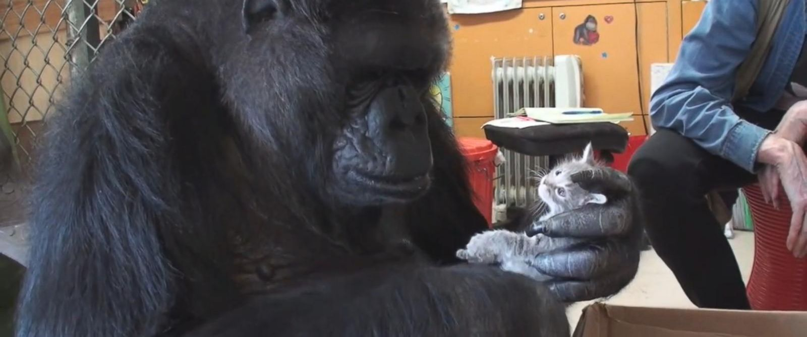 PHOTO: Gorilla known for her sign language abilities shows maternal instincts with kittens.