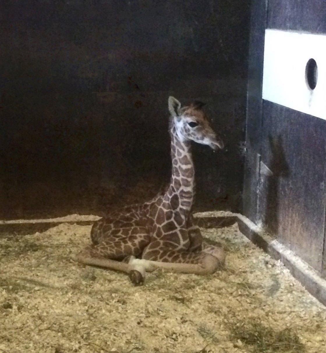 A Baby Giraffe Joins Six Flags Great Adventure's Safari