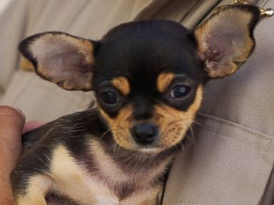 PHOTO: Pierre the chihuahua was surrendered to the SPCA on July 19.