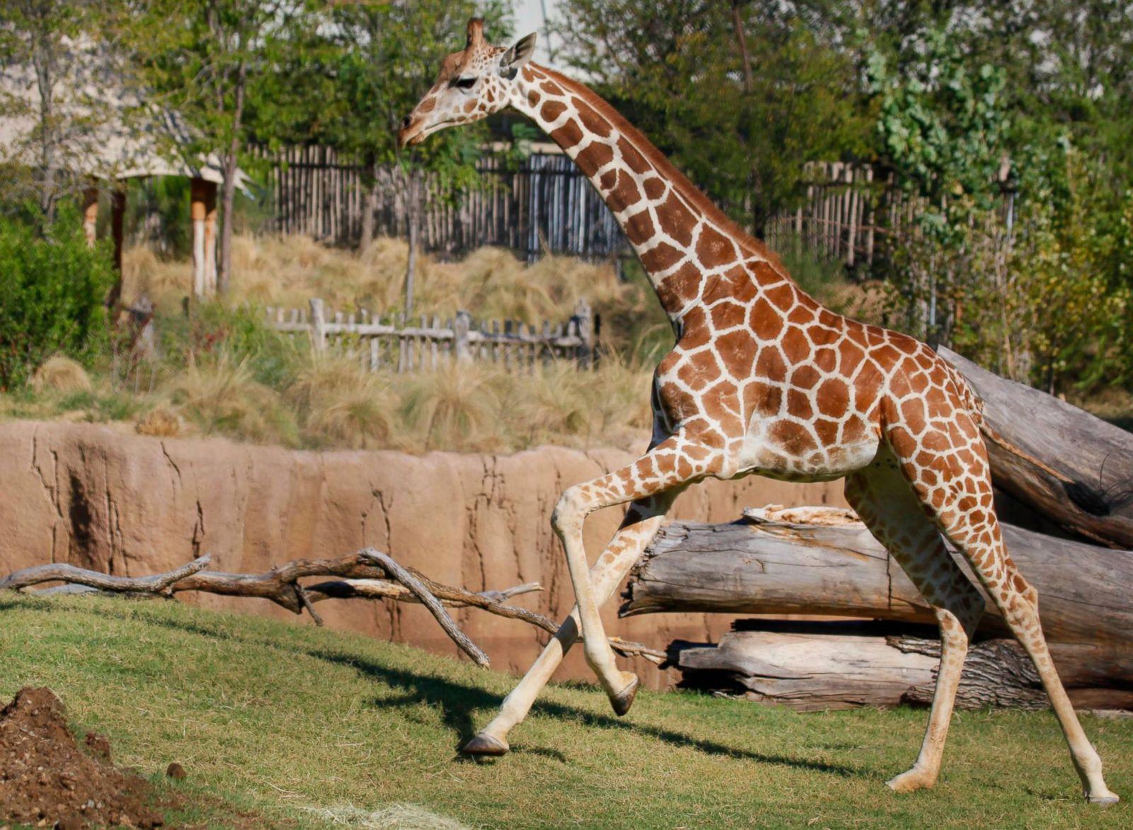 Dallas zoo welcomes baby giraffe picture cutest baby - Colorazione pagine animali zoo ...