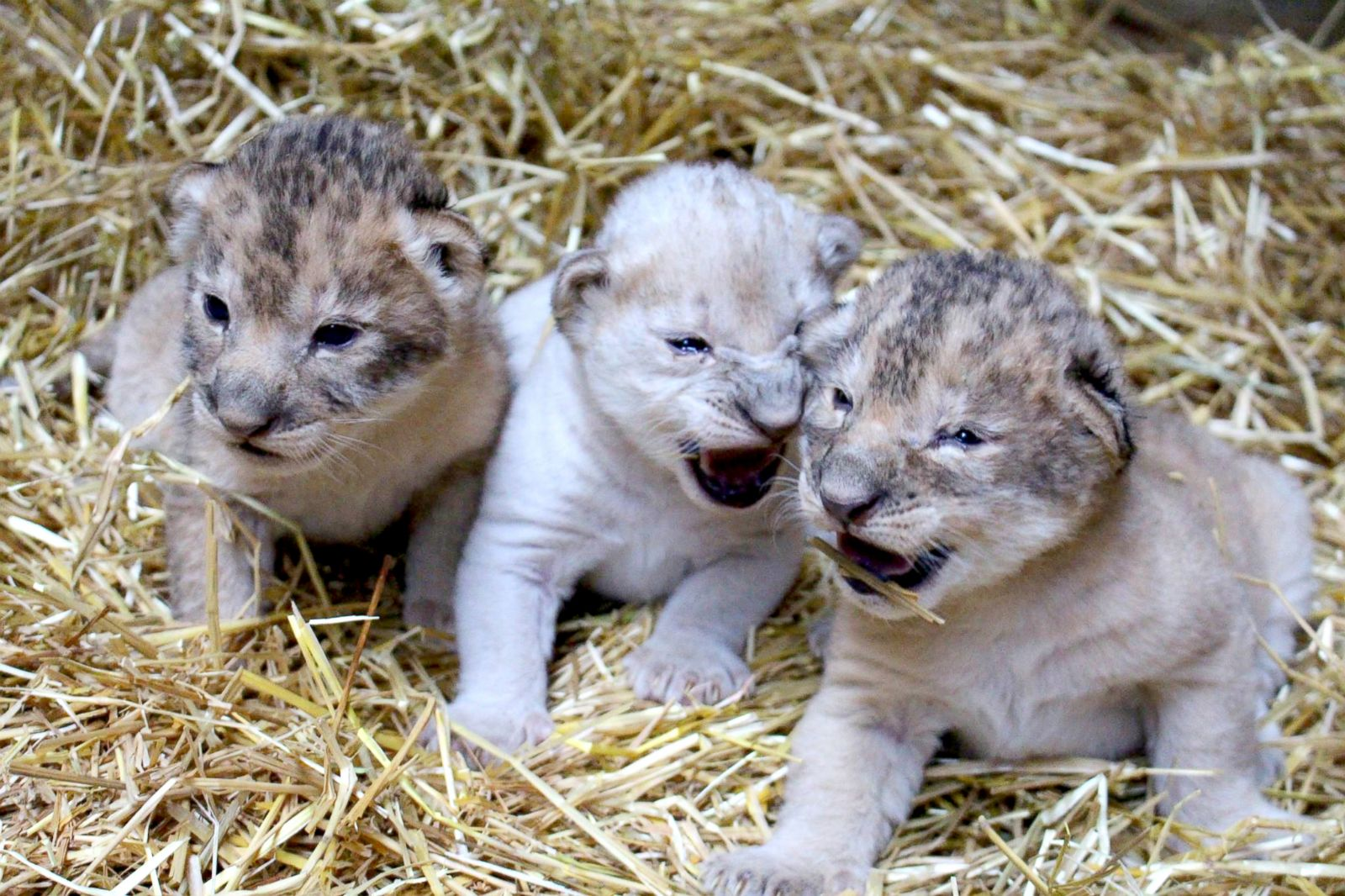 Cuteness Overload! 3 Newborn Lion Cubs Make Their Debut ...