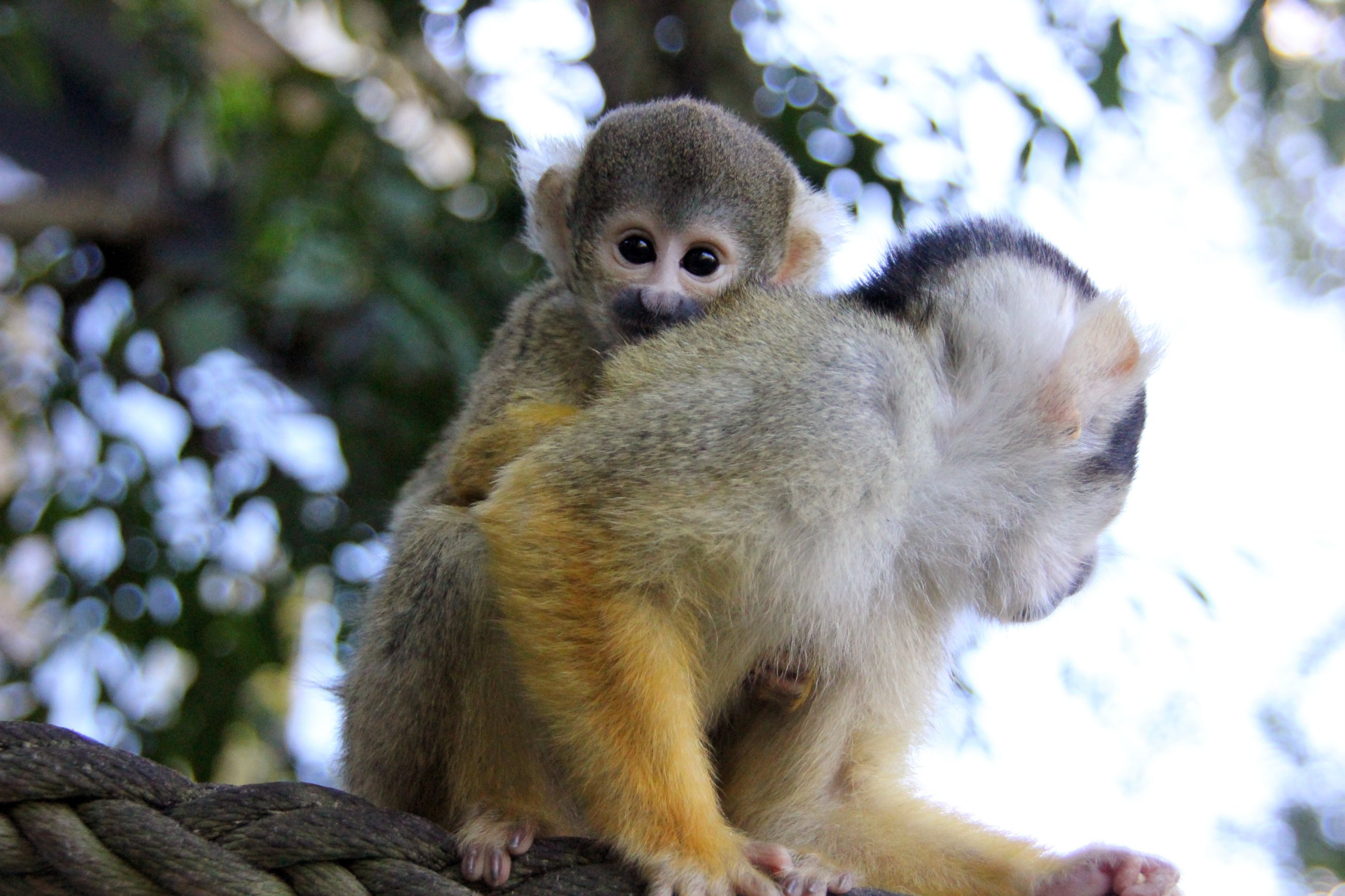 Trees a Crowd: Baby Squirrel Monkeys Born at Taronga Zoo