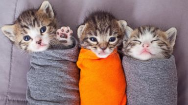 PHOTO: These adorable kittens wrapped in material raise awareness for no-kill animal shelters in Kanab, Utah.