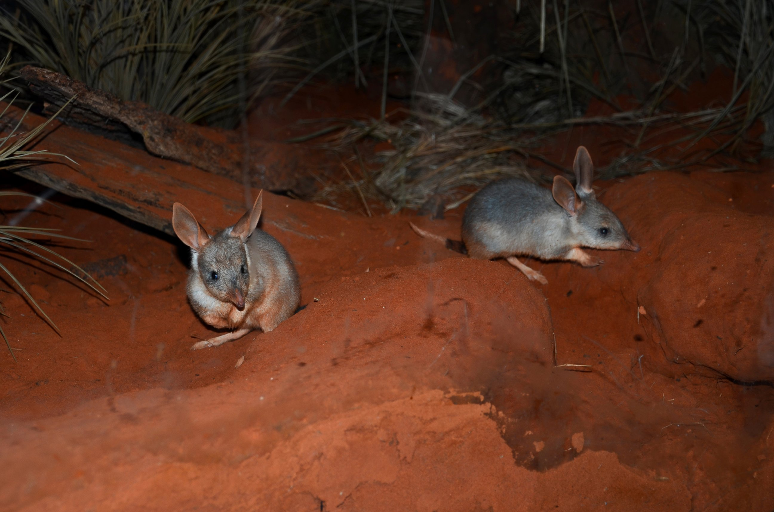 Take a Peek at Zoos First-Ever Bilby Joeys
