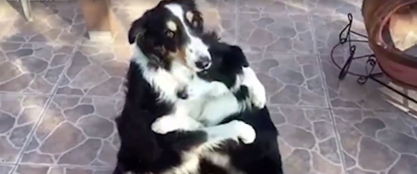 PHOTO:Dewey and Blaze the Border Collies show off their adorable friendship in a video that was posted to Facebook on Feb. 2, 2016.