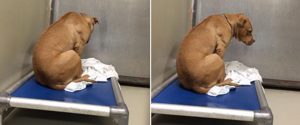 PHOTO: March, a pit-bull mix, gained attention after a shelter volunteer shared photos of him being sad.