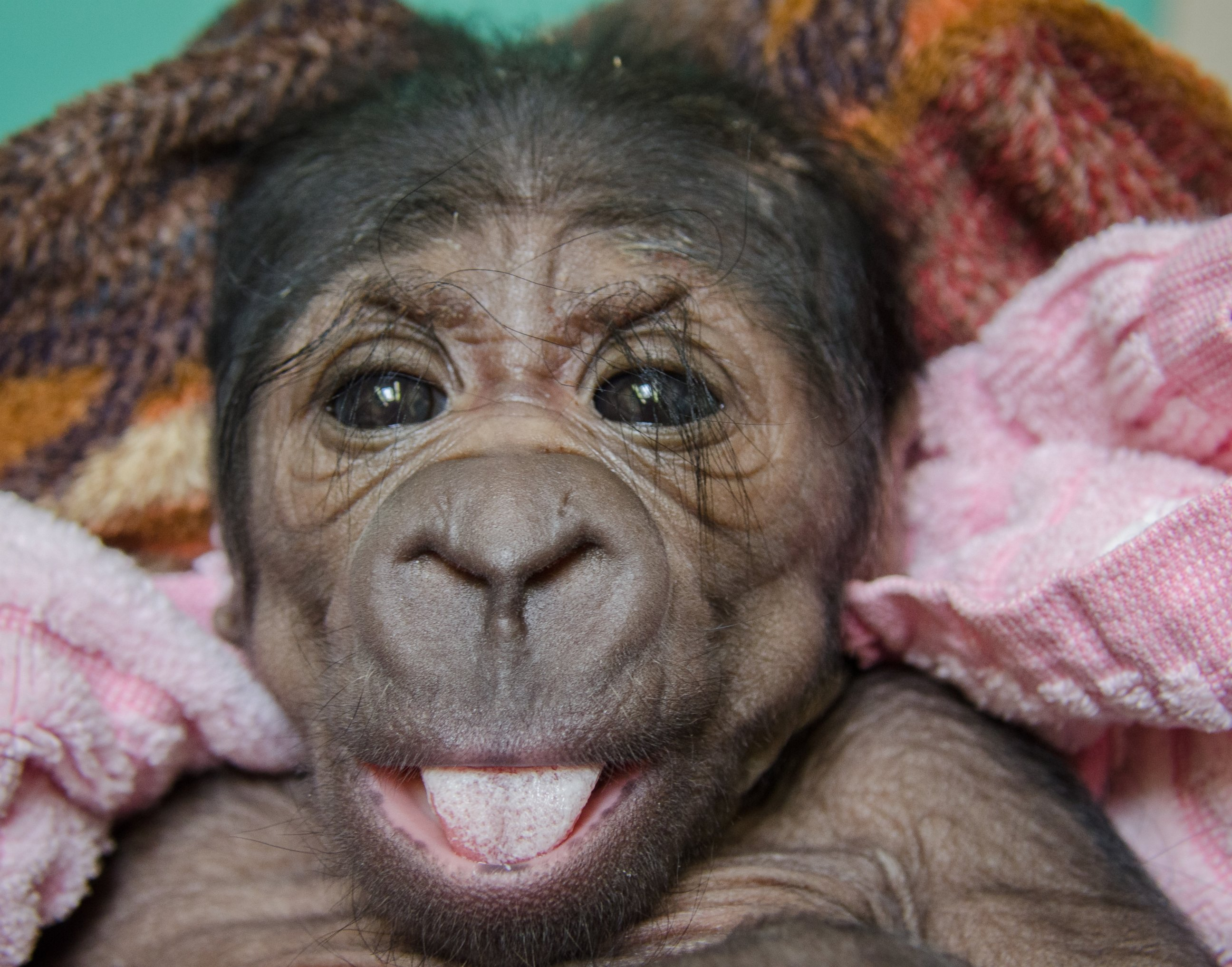 Say Cheese! A Western Lowland Gorilla Smiles for the Camera
