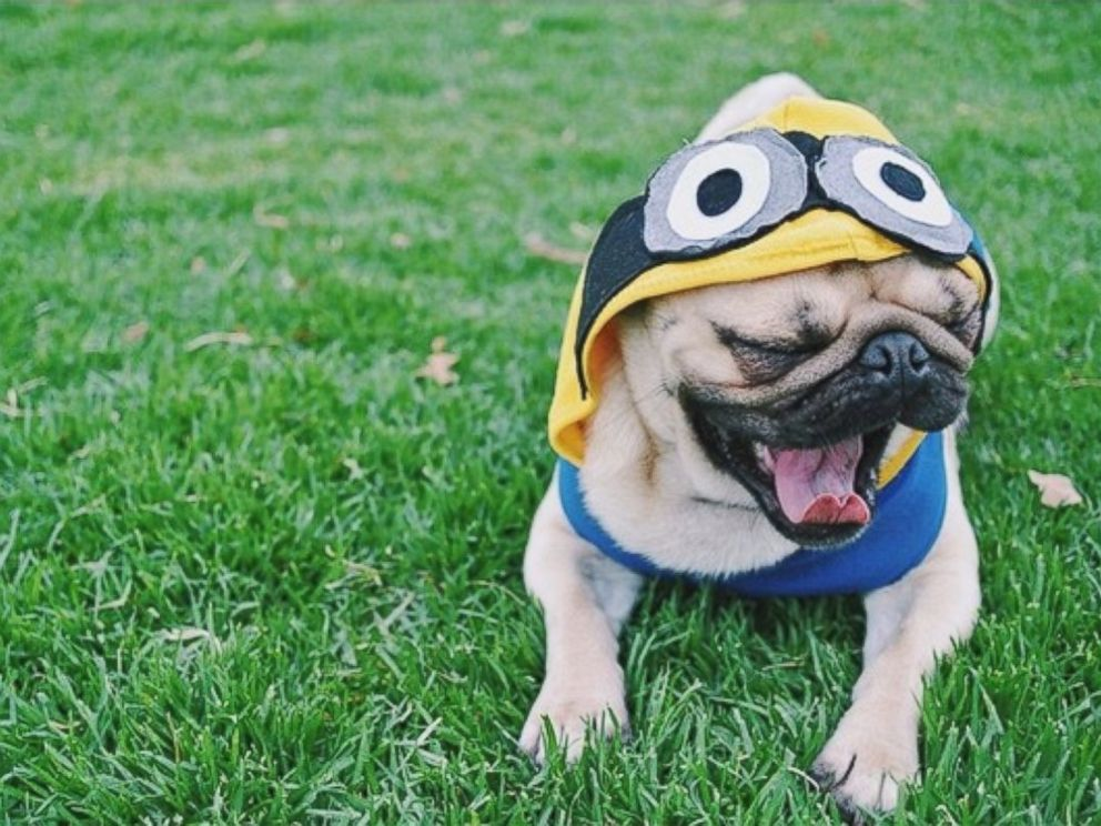 PHOTO: Homer the pug has over 100,000 followers on his Instagram page, HomerPugalicious.