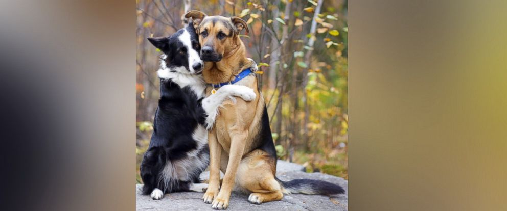 PHOTO: Lottie, a 2-year-old border collie, (left) gives out hugs to his furry friends.