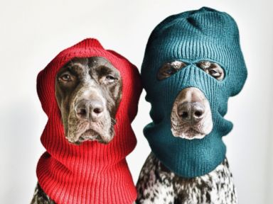 Photos: Modeling Is Ruff for These German Shorthaired Pointers