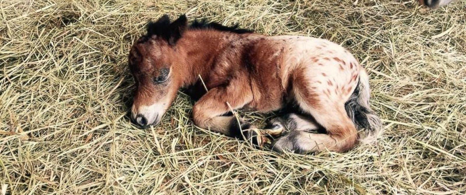 how to raise miniature horses