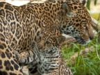A Baby Jaguar Plays Tag With His Mother