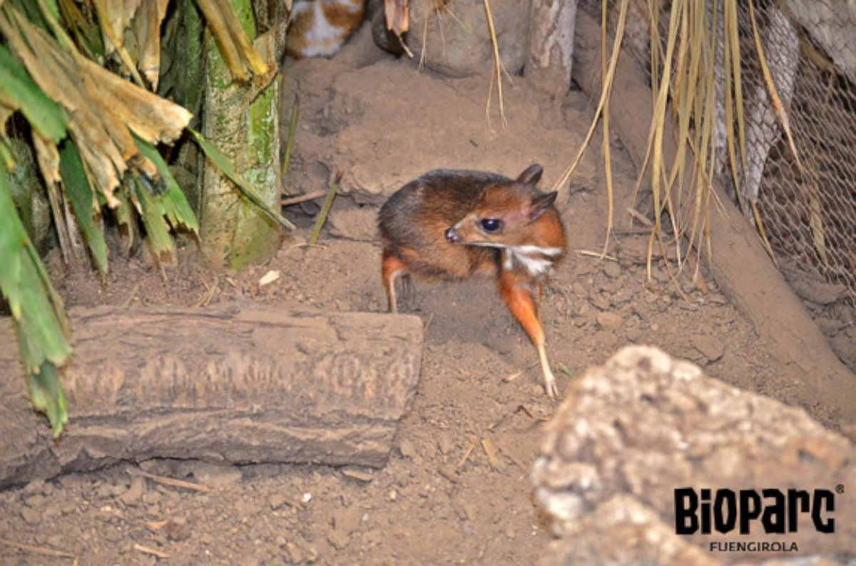 Rare Java mouse-deer Born in Spain