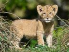 Lion Cub Makes His Debut at Zoo Miami