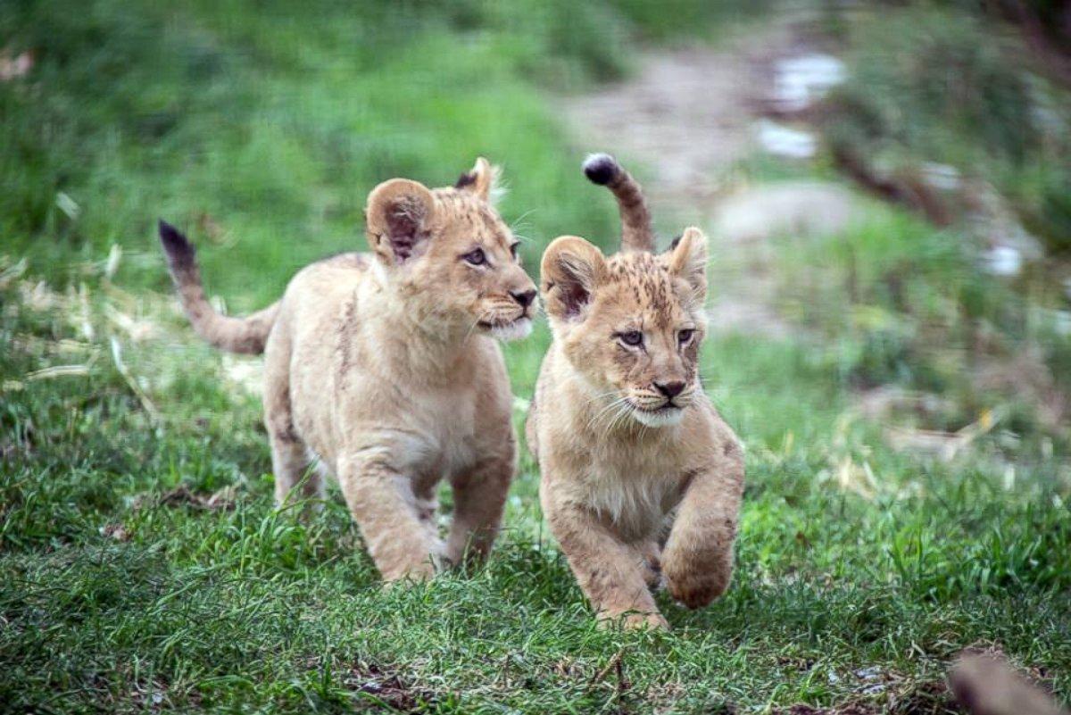 Lion Cubs Go Exploring