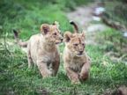 Lion Cubs Go Exploring