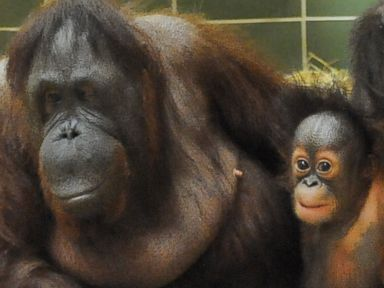 Baby Orangutan Finds Home With Surrogate Mom