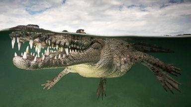"""""""Smiling Assassin"""" – American Crocodile, Jardines de la Reina, Cuba."""