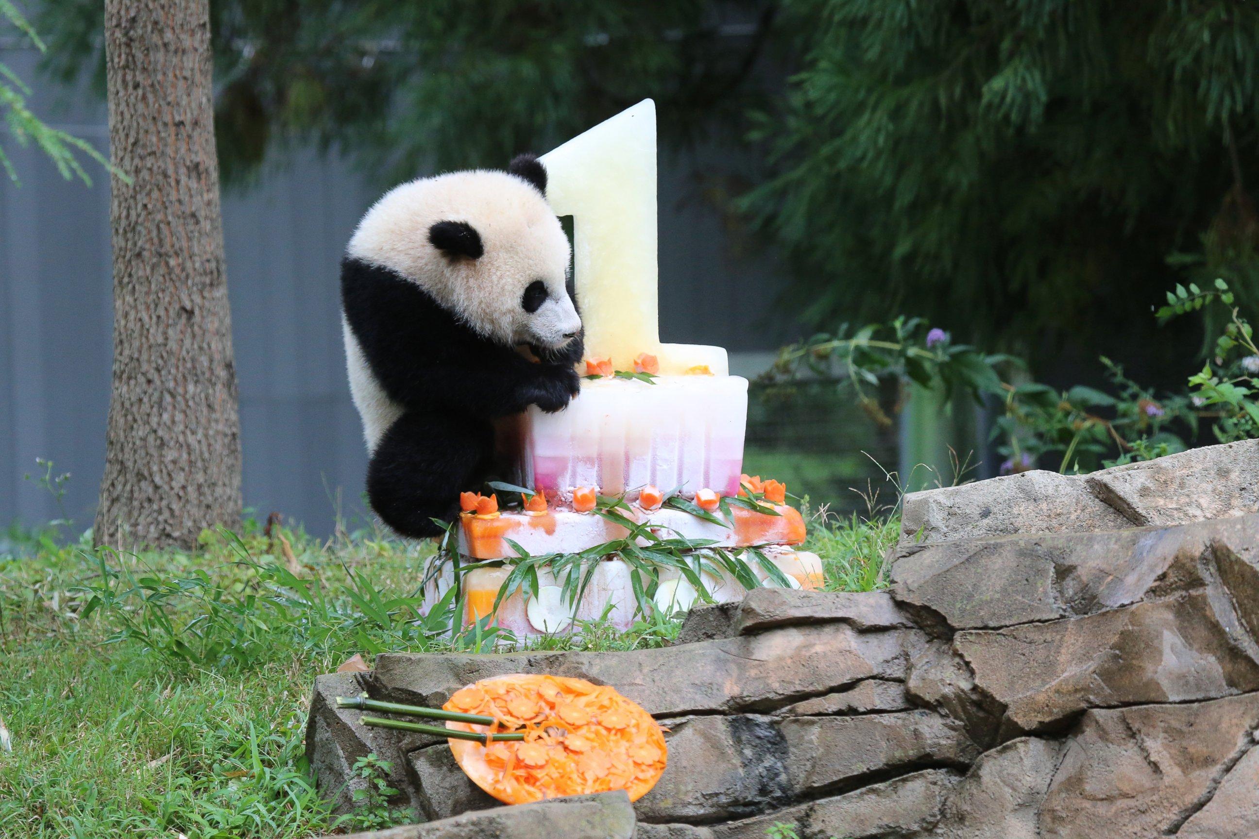 Panda Cub Celebrates First Birthday