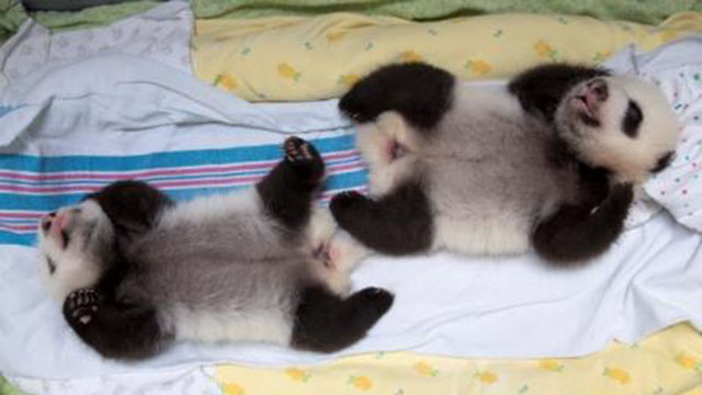 PHOTO: The twin giant panda cubs at Zoo Atlanta are the only twins ever to survive in the U.S.
