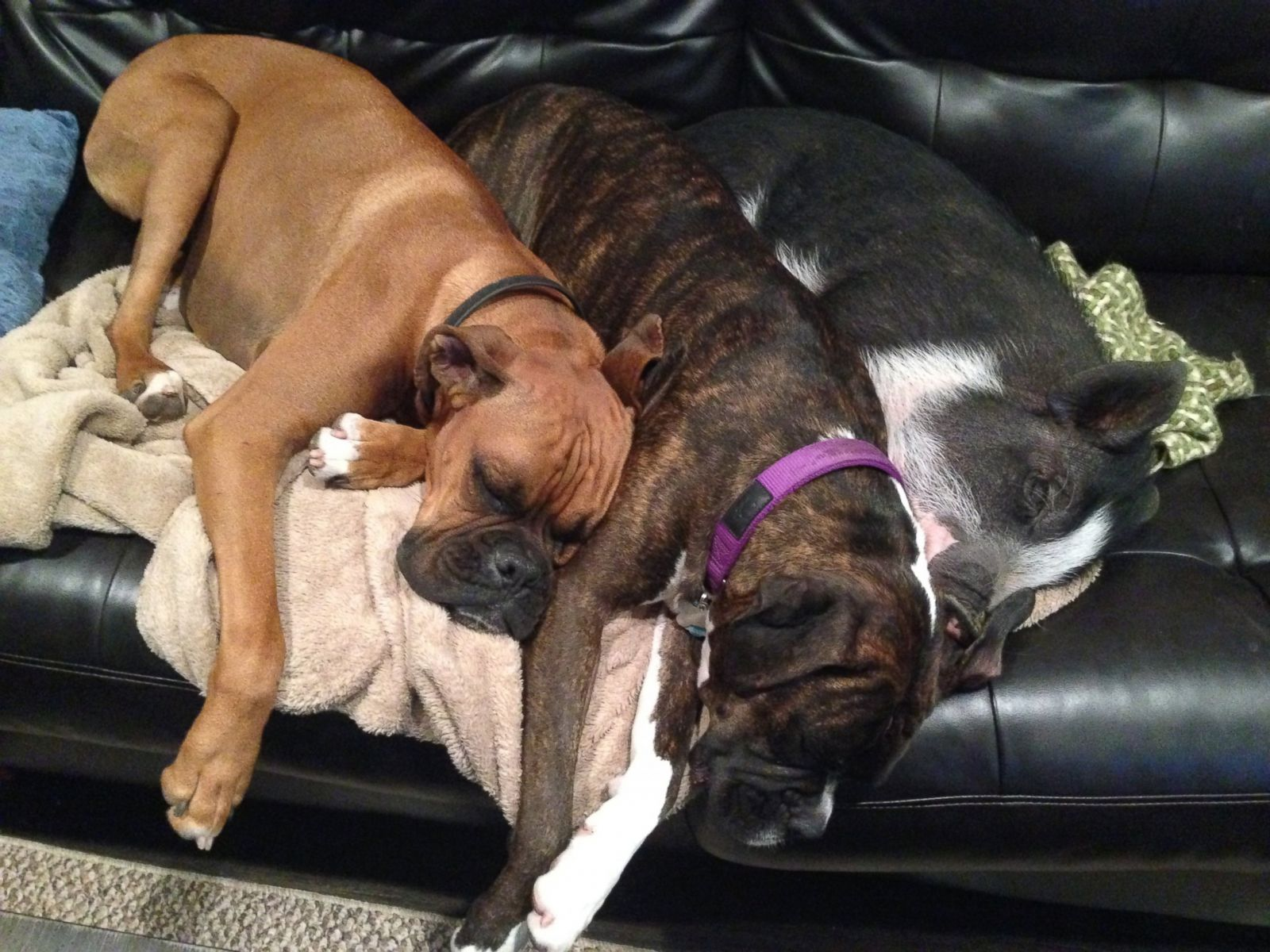 Animal Kingdoms Odd Couples Photos ABC News - Adorable pig whos grown up with dogs believes shes a puppy too