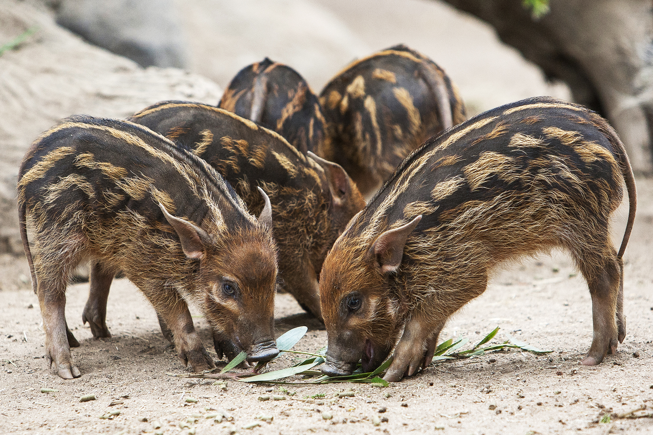 Piglets Learn How to Eat