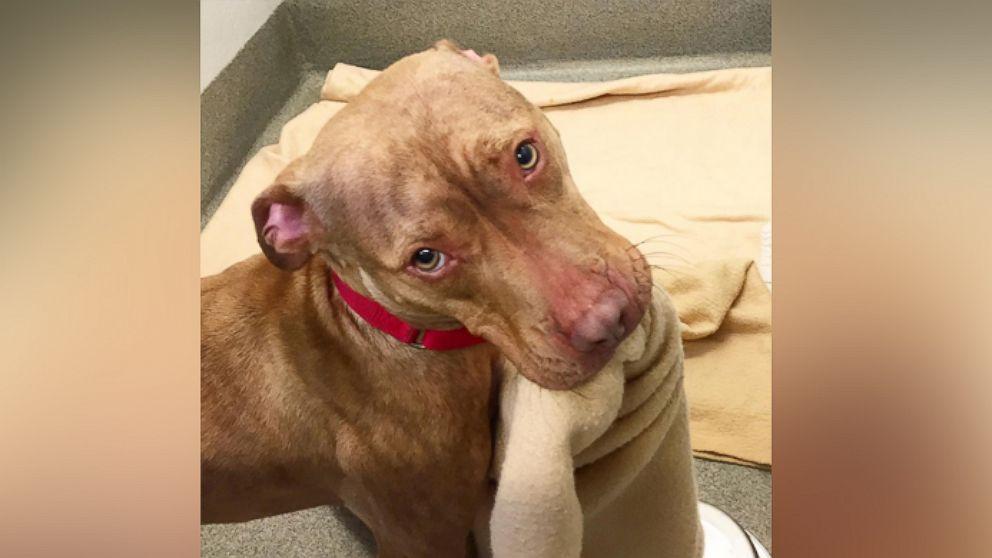 Pitbull Puppies Long Island Adoption