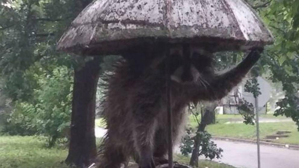 Good Morning America Umbrella : Raccoon uses umbrella to stay out of rain abc news