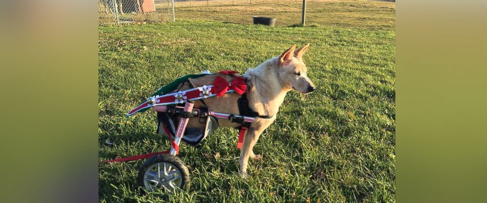 PHOTO: Scooter, who had her legs cut off and her spine broken, now has new lease on life as seen in this undated file photo.