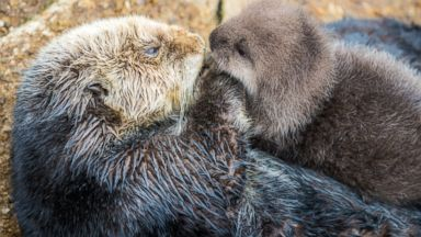 PHOTO:A wild sea otter unexpectedly gave birth to an adorable pup at the Monterey Bay Aquarium in Monterey, Cali., Dec. 20, 2015.