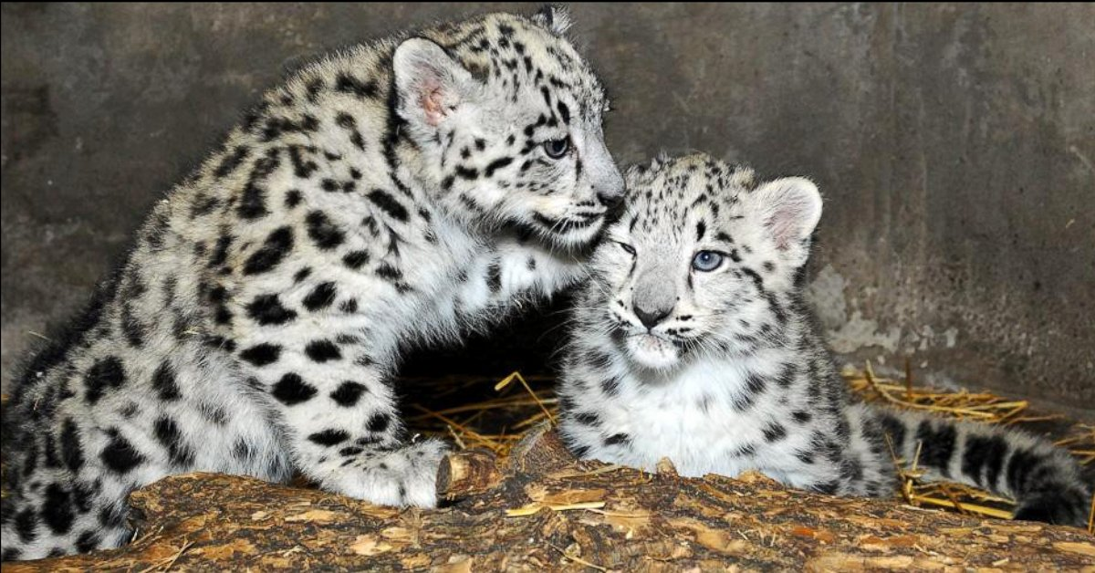 Snow Leopard Cubs Take a Break Away From Mom