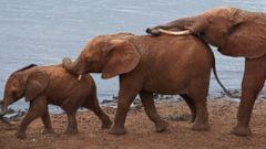 Adorable Baby Elephants Go Walkabout