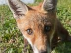 A Curious Fox Poses for the Camera