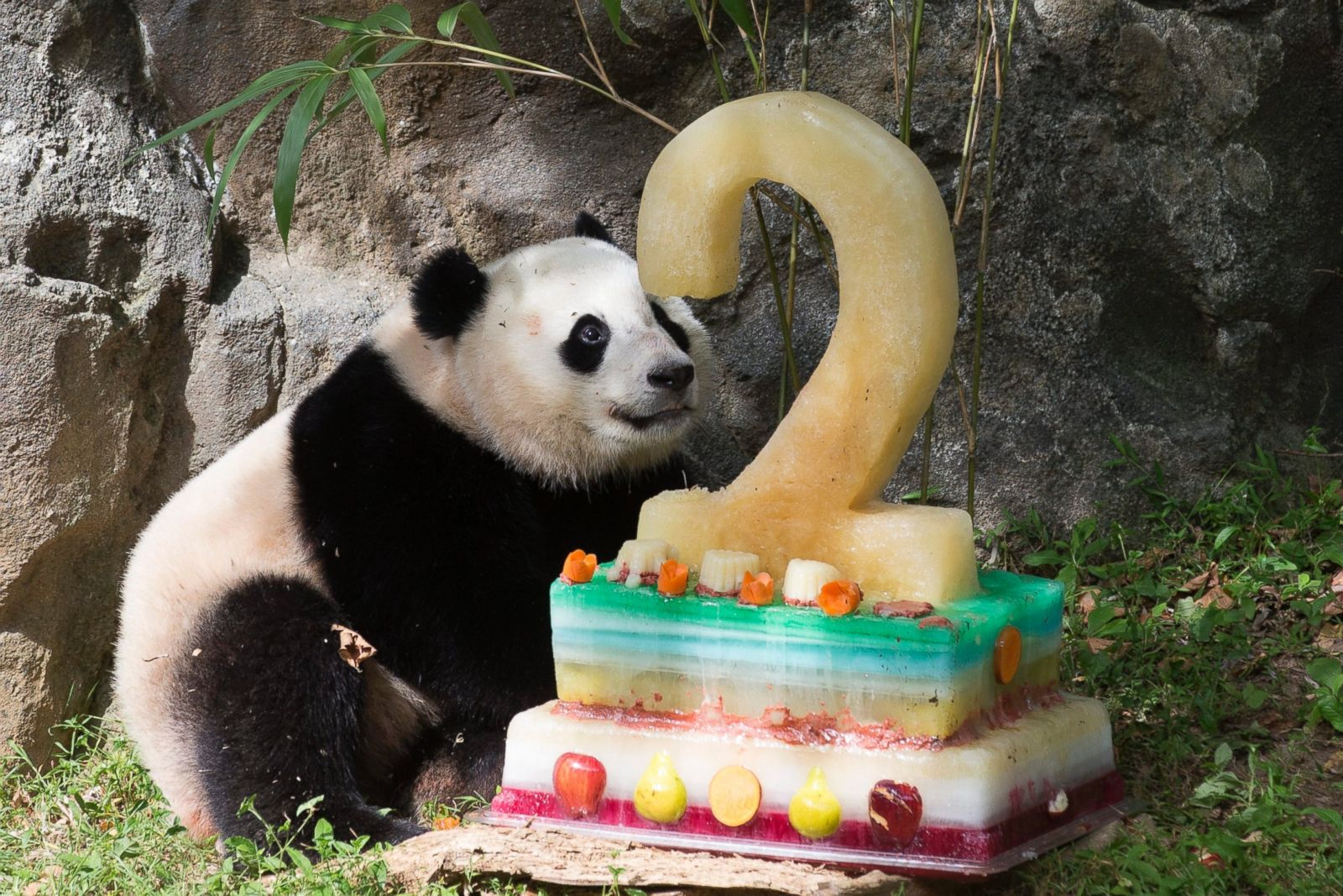 Giant Panda Cub Celebrates 2nd Birthday Picture Amazing