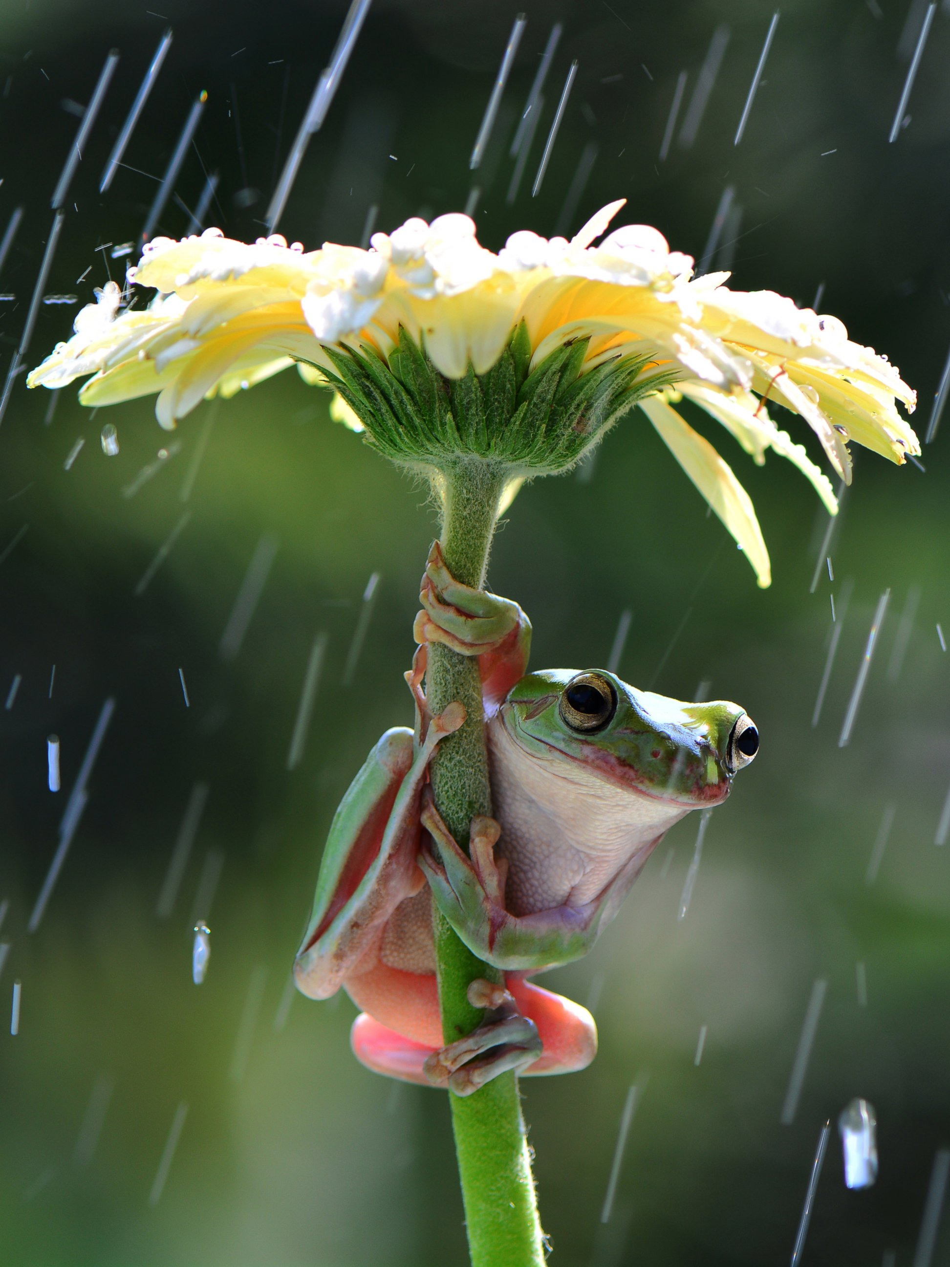 See How A Frog Stays Dry in Rain