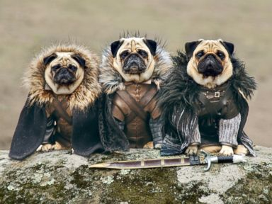 Photos: Meet the Pugs of Westeros